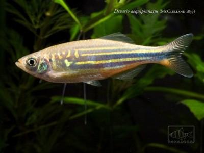 Danios and devarios devario aequipinnatus for Giant danio fish
