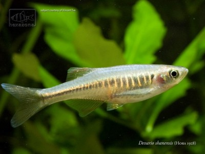 The blue danio is found on the islands of Langkawi and Ko Yao Yai in ...
